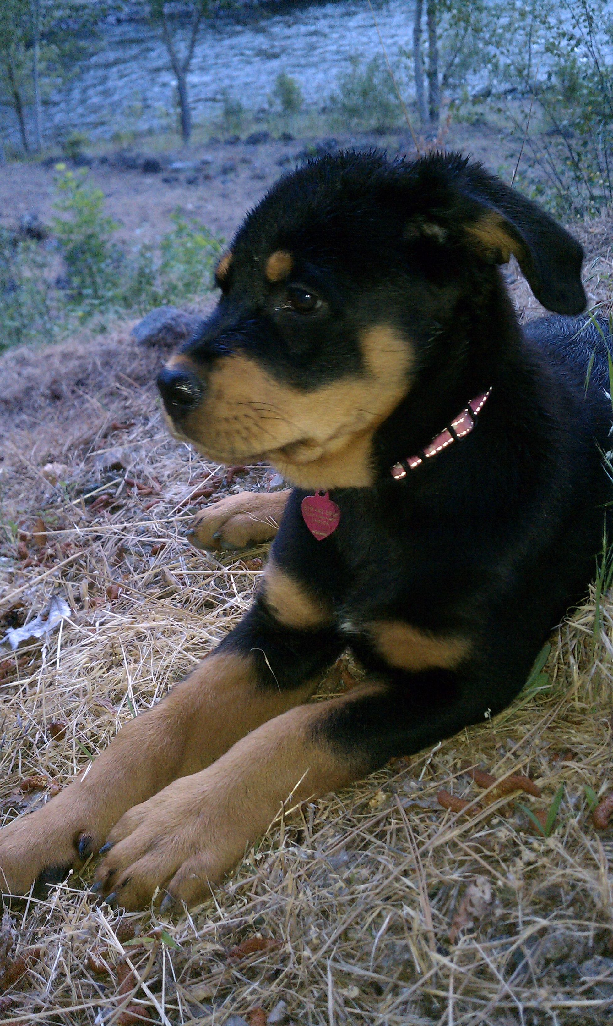 File:10-week-old Rottweiler puppy Rottweiler 2.jpg - Wikipedia