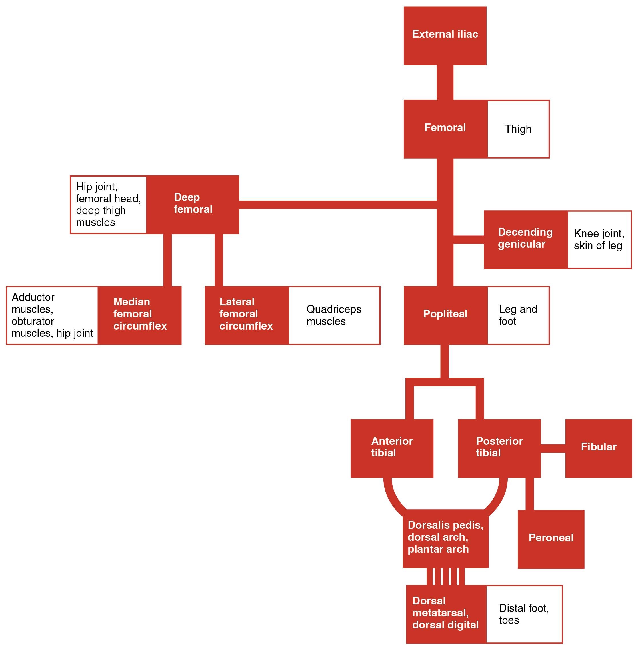 Flow Chart Of Blood: 2130 Lower Limb Arteries Chart.jpg - Wikimedia Commons,Chart