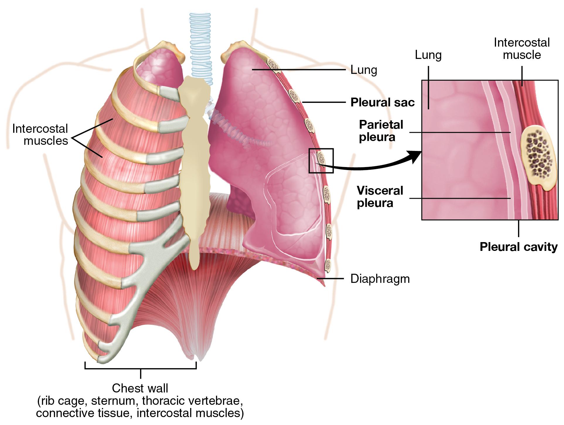 organe links unter rippen