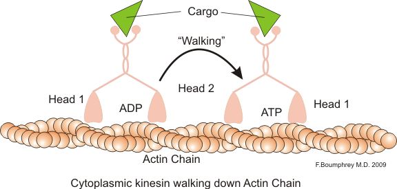 Actin kinesin walking.png