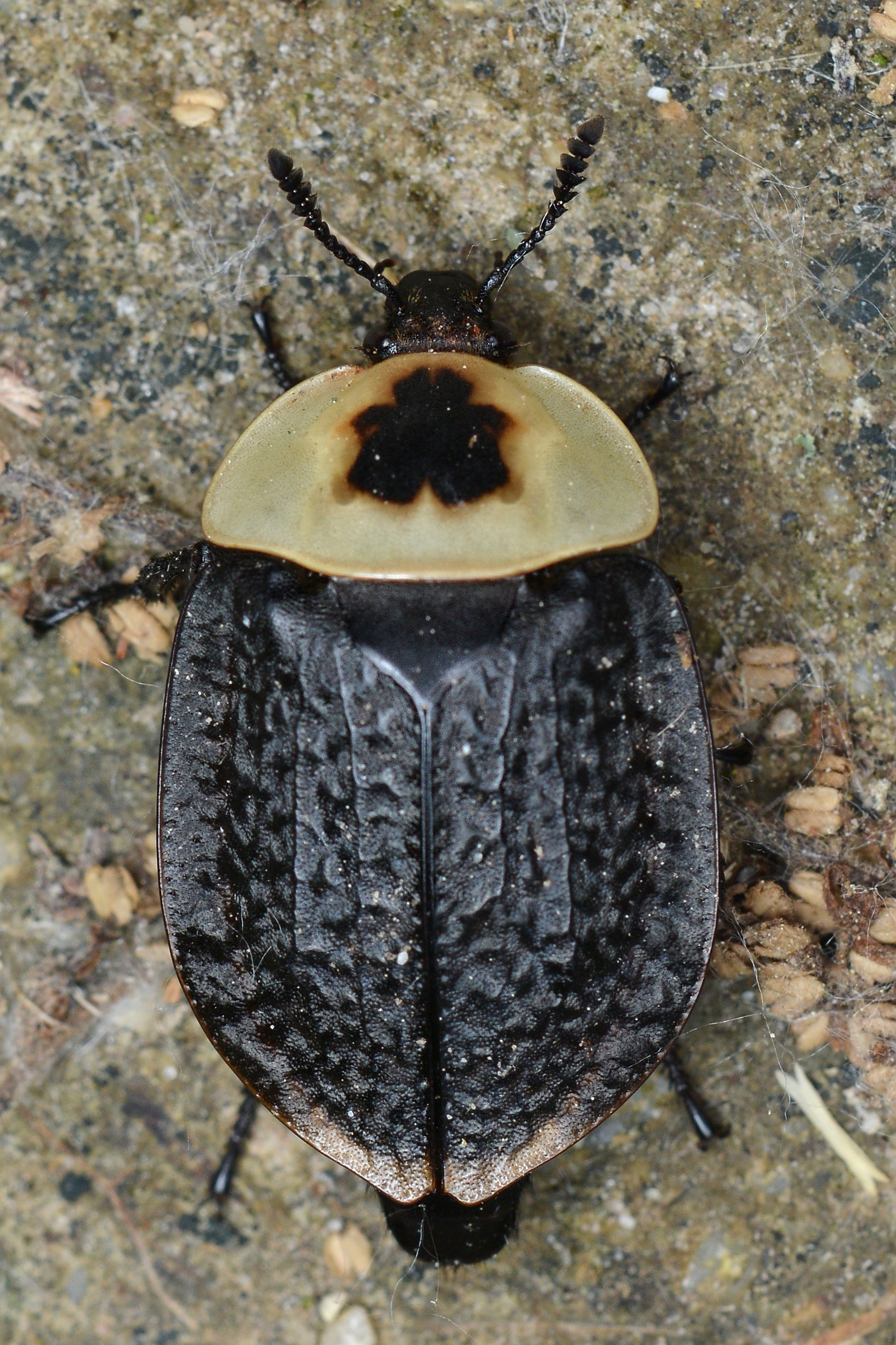 Carrion Beetle Wikiwand