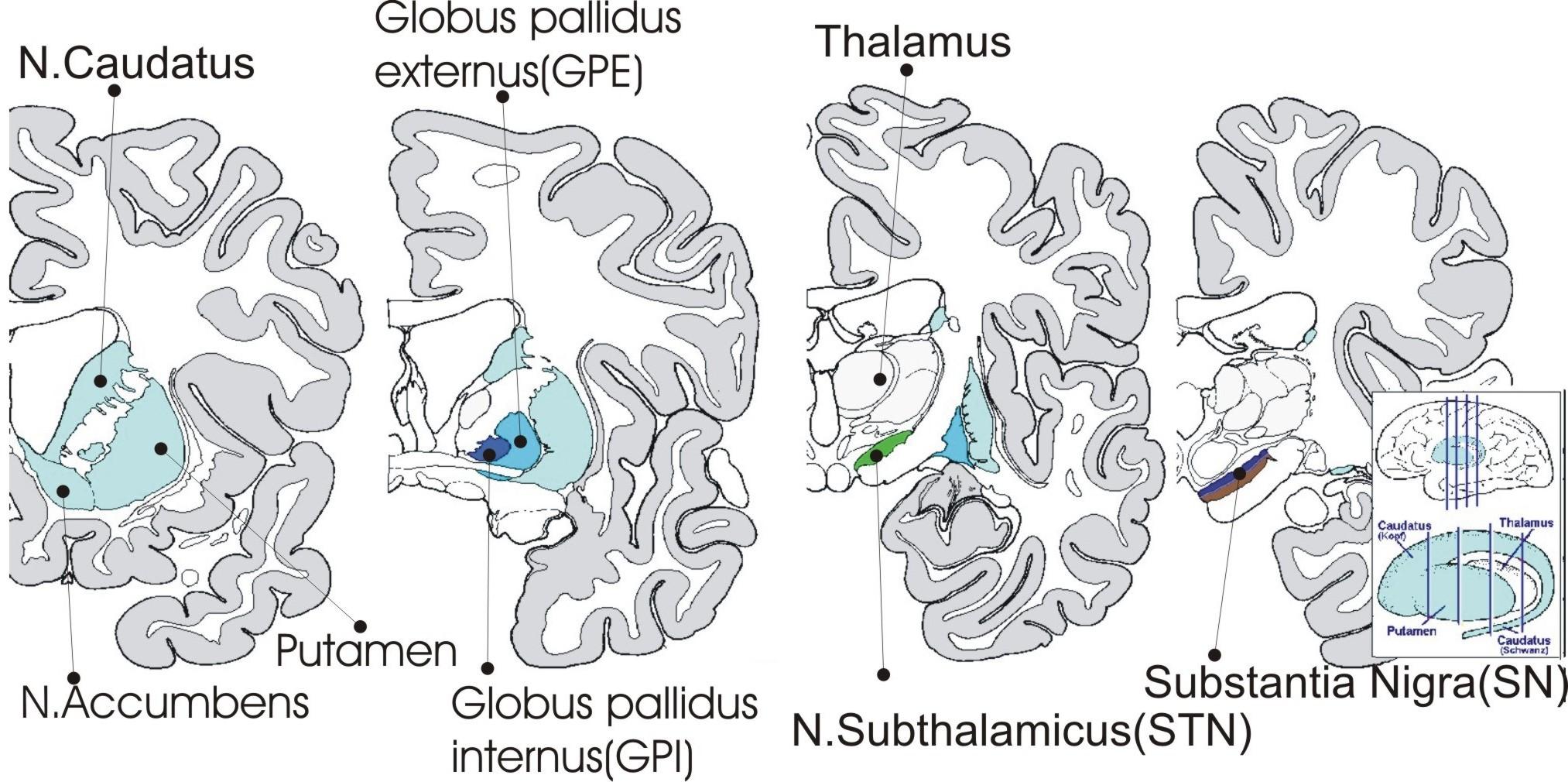 External globus pallidus - Wikiwand