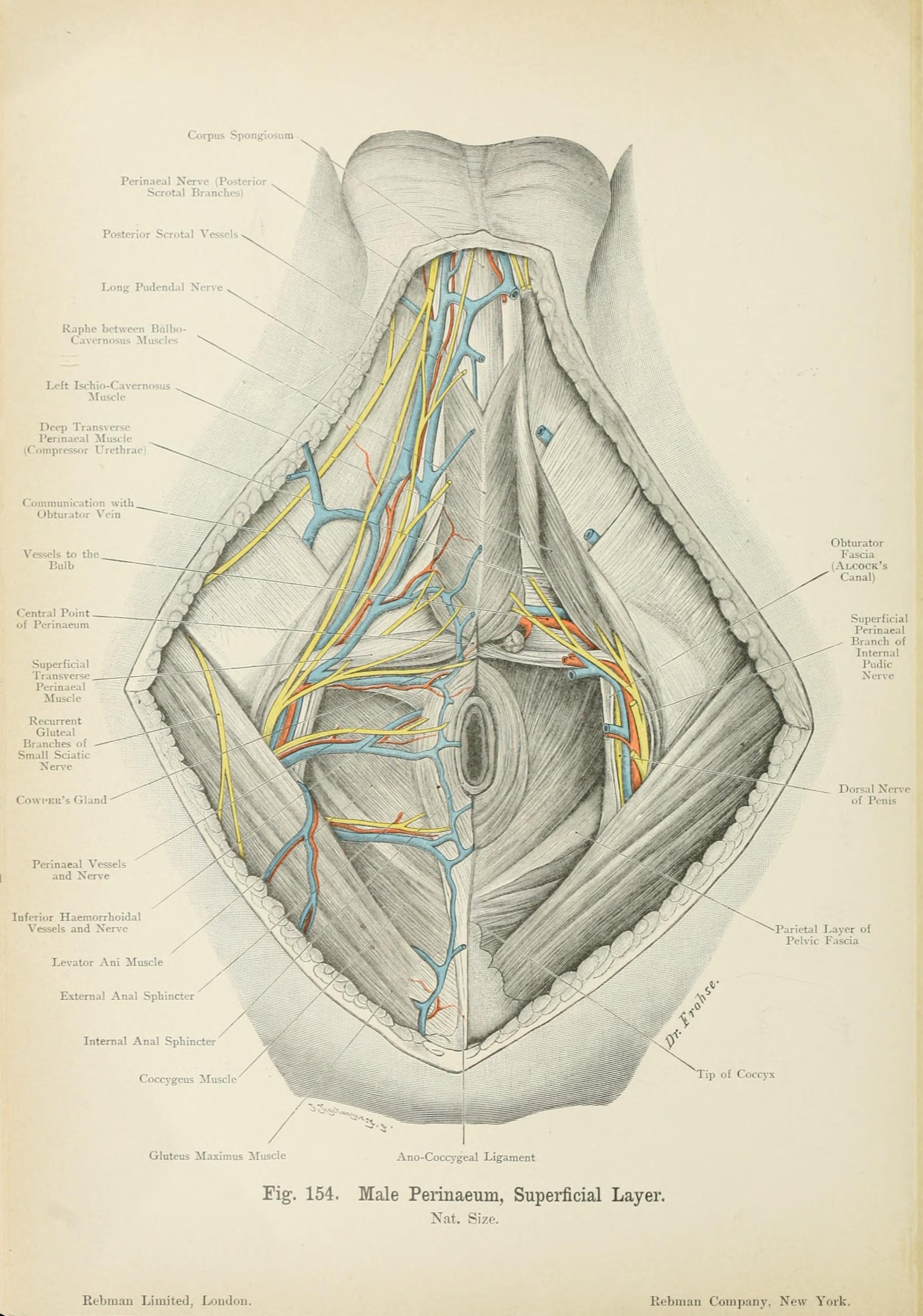 File:Atlas of applied (topographical) human anatomy for