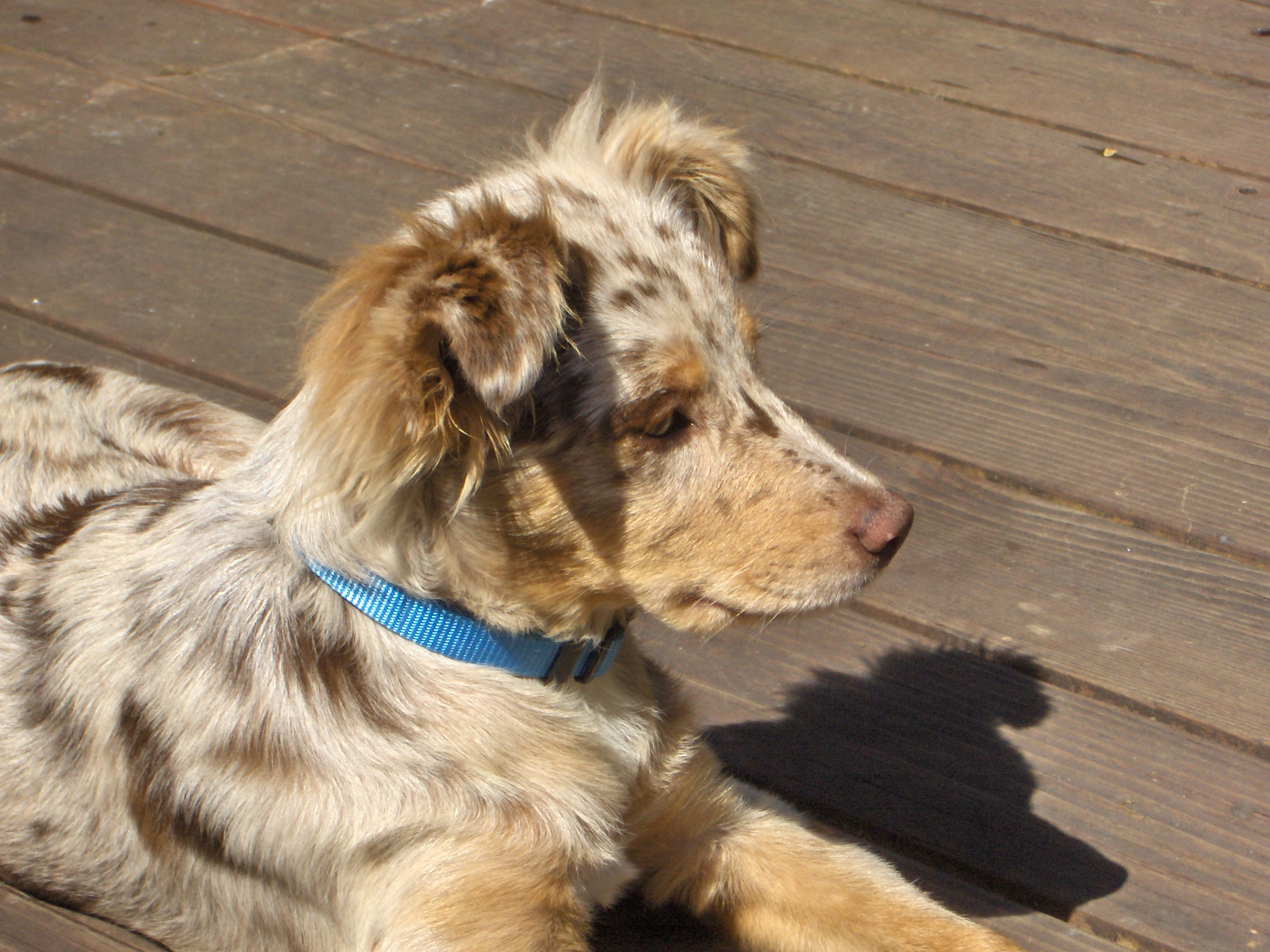 Description Australian Shepherd puppy red-merle.jpg