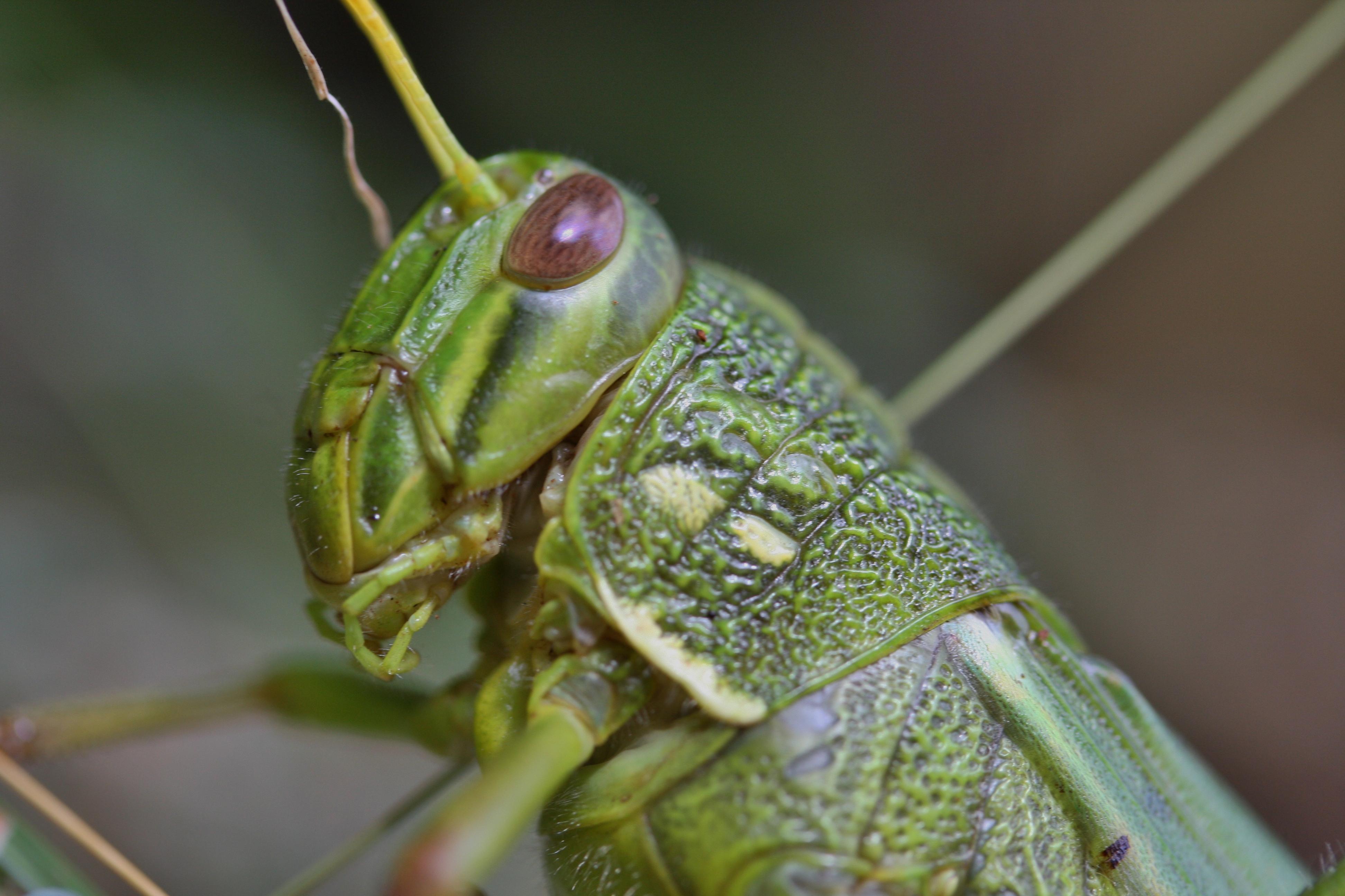 File:Band-winged Grasshopper (Gastrimargus marmoratus) (6748008999