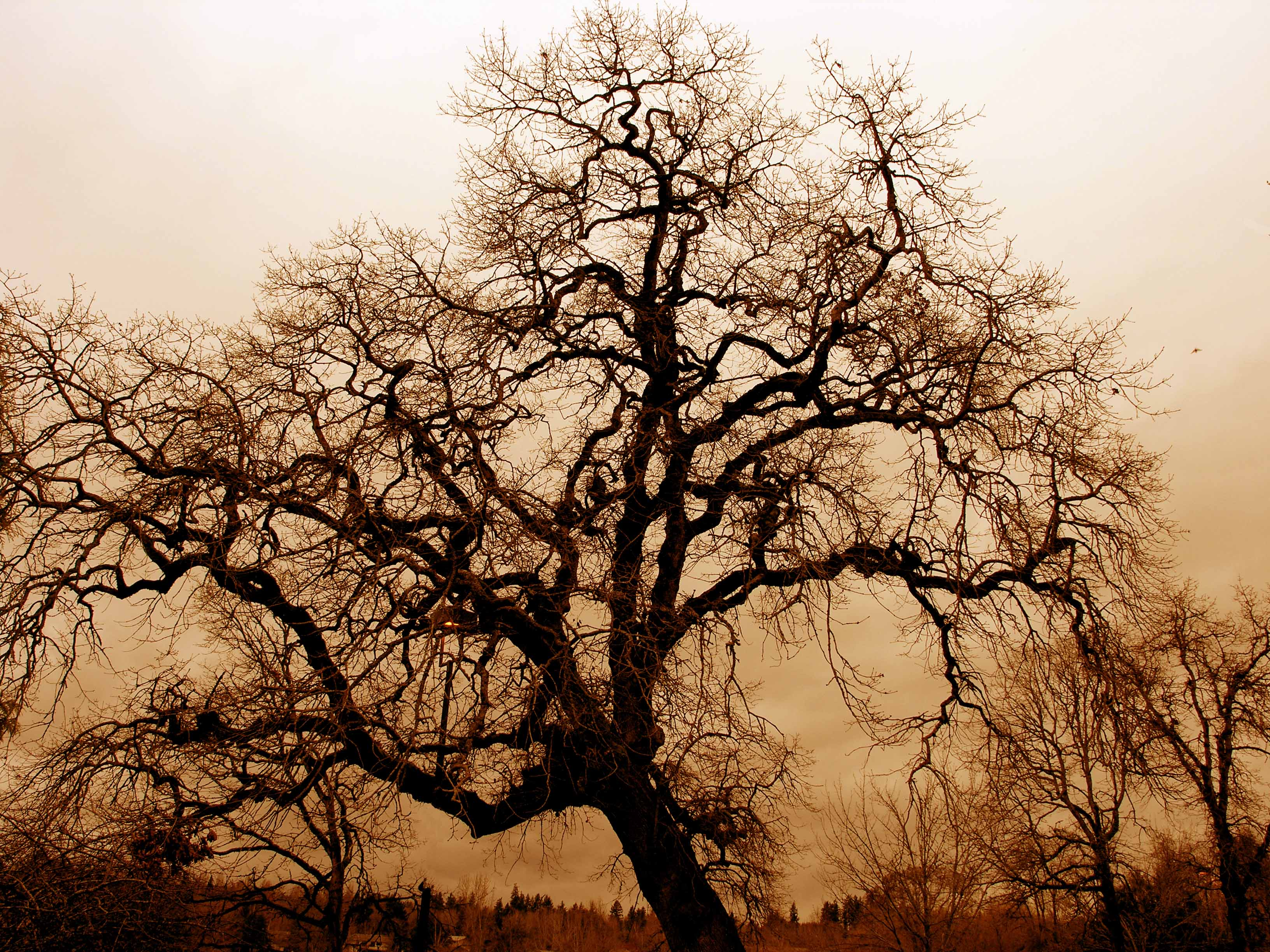Description Bare Oak Tree.jpg