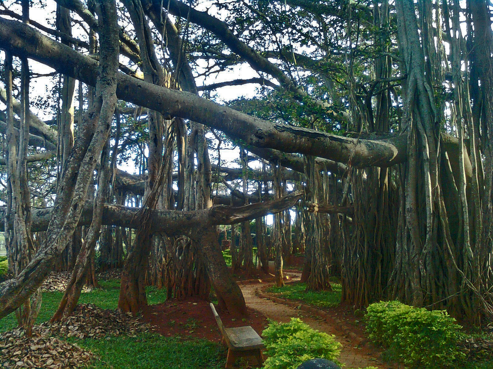 essay on banyan tree in telugu