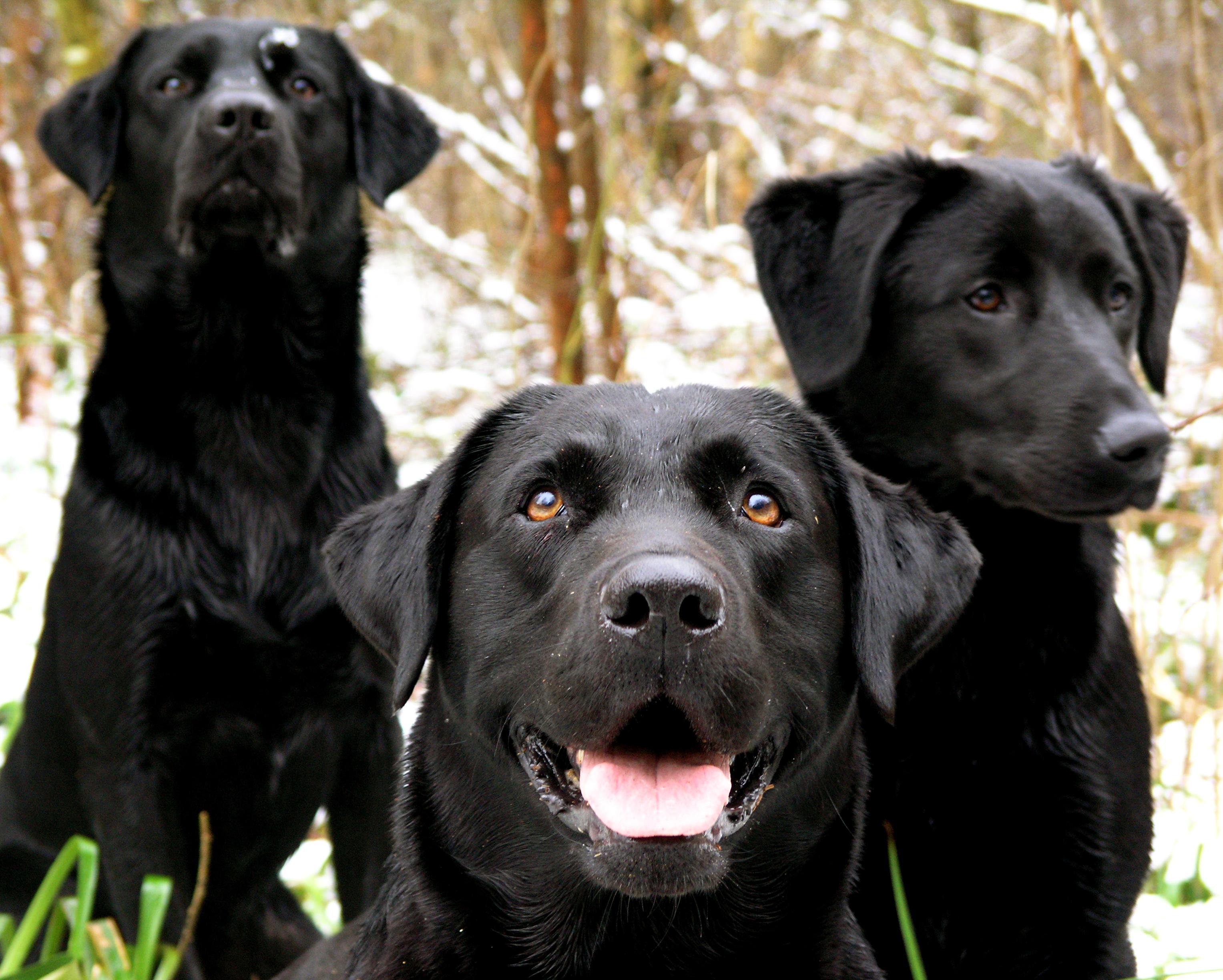 Black Dog Pictures File:Black Labrador Re...