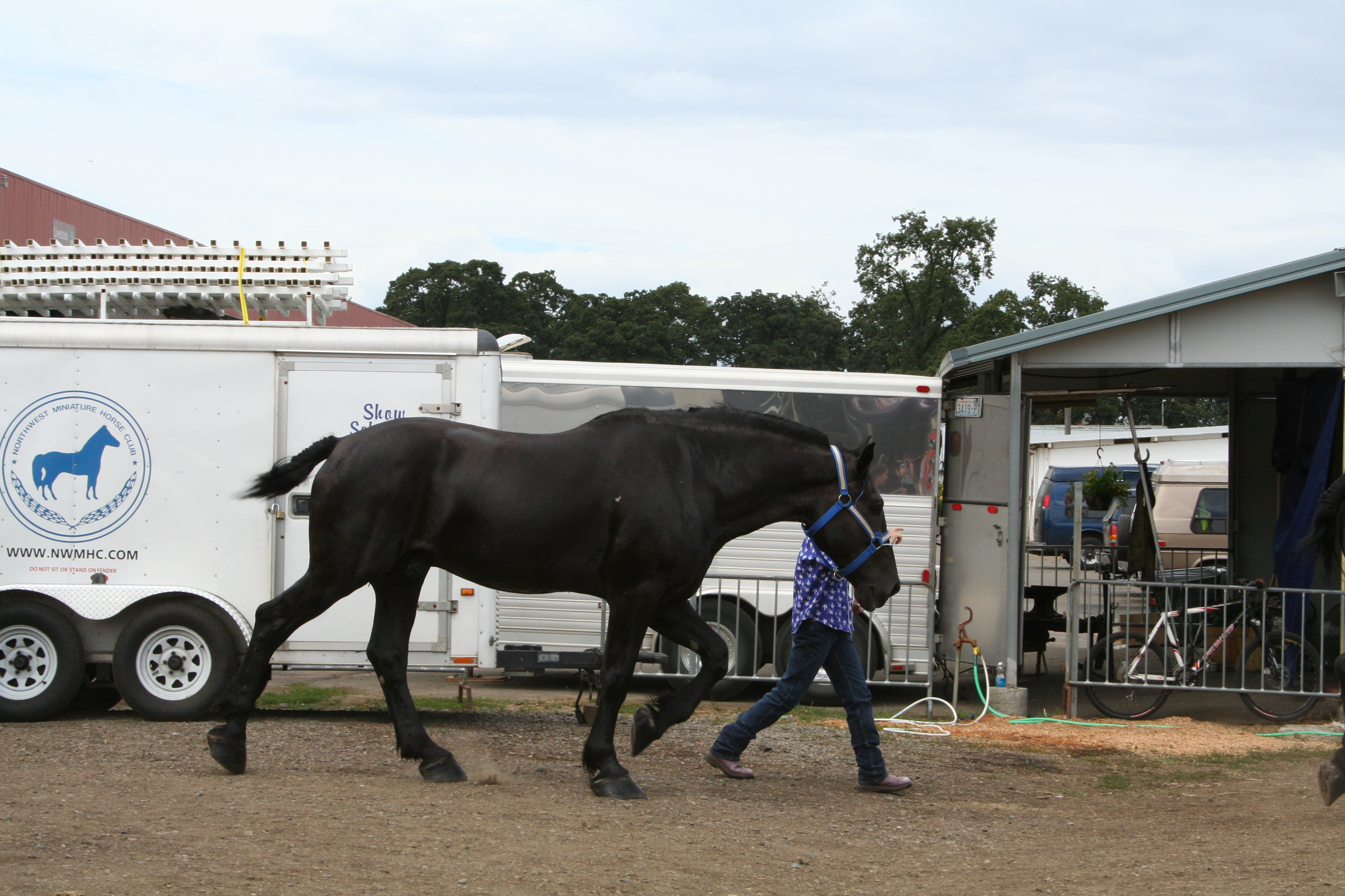 Percheron Draft Horses