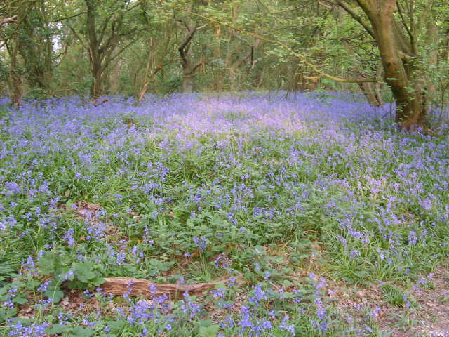 Bluebell wood - geograph.org.uk - 412264