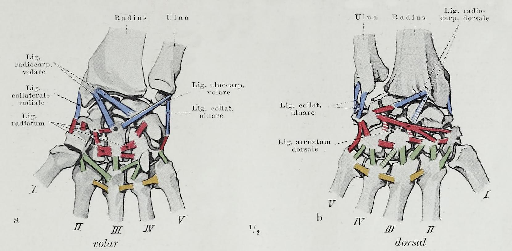 Wiki: Carpal bones - u...