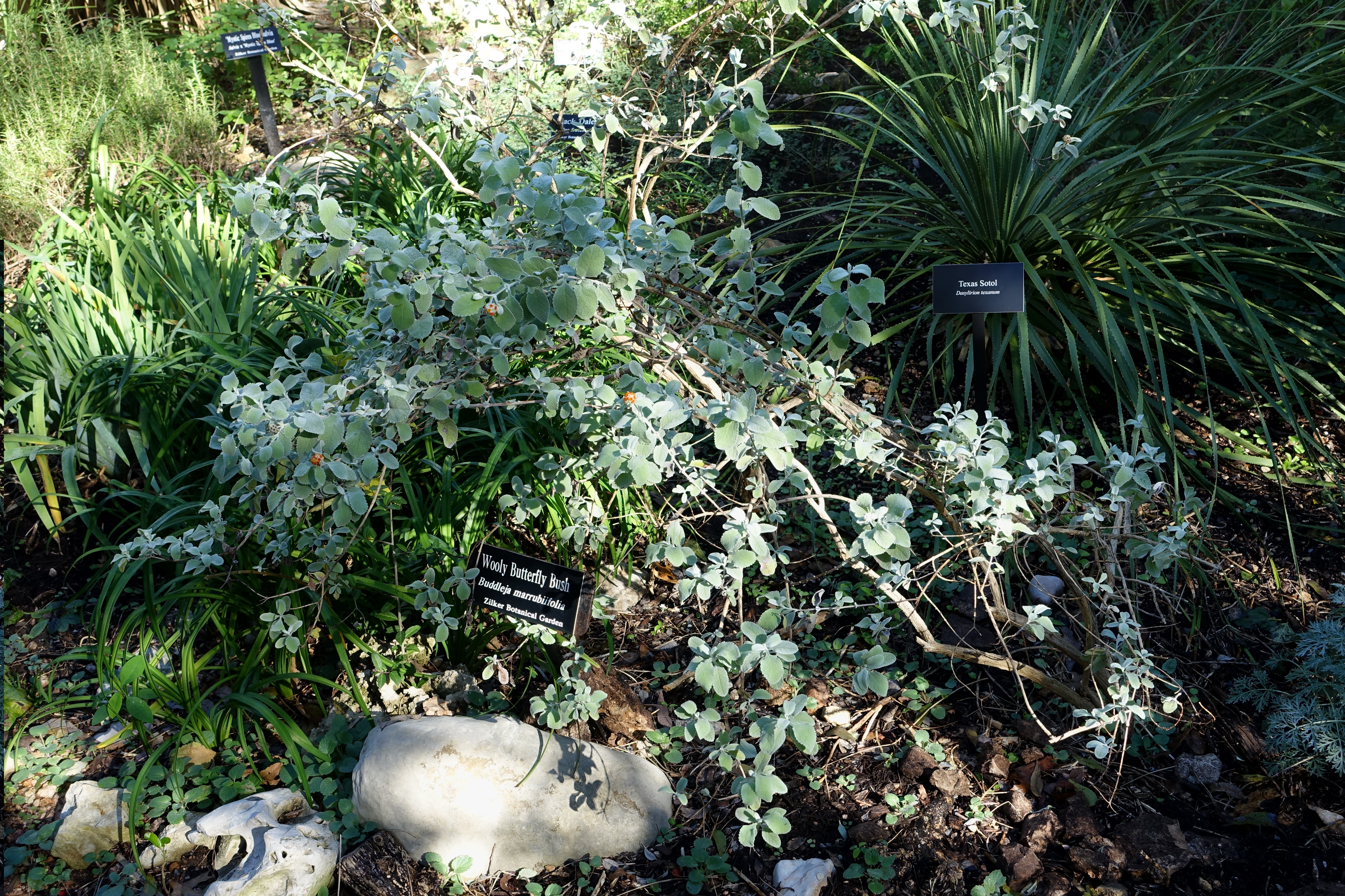File:Buddleja Marrubiifolia   Zilker Botanical Garden   Austin, Texas    DSC08735