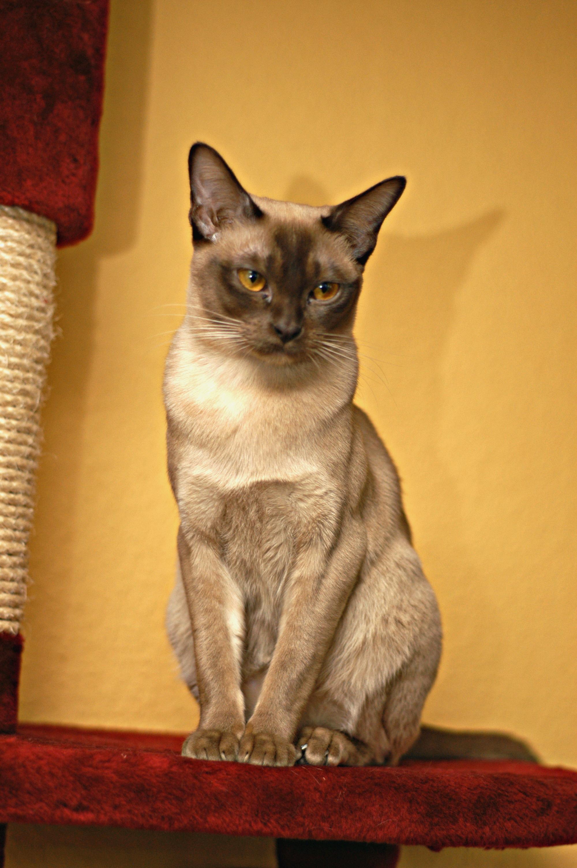 Burma Katze Wikipedia