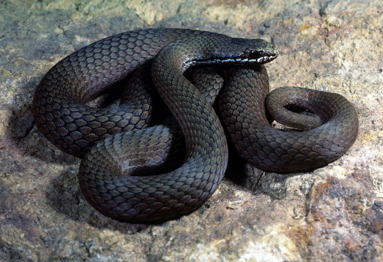 White-lipped snake - Wikipedia