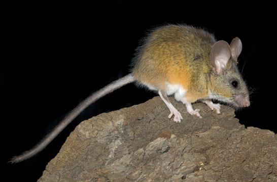California mouse 5 Peromyscus californicus.jpg