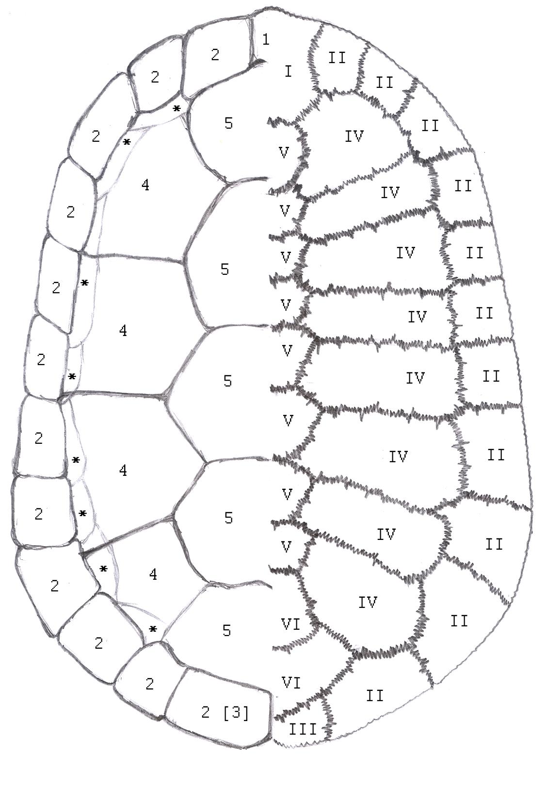Knochenplatten Hornplatten im Vergleich. Panzer Schildkröten