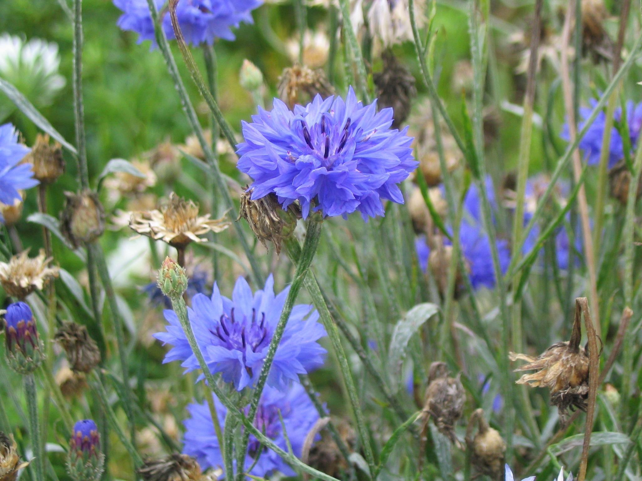 Обои васильки цветы полевые букет крупный план