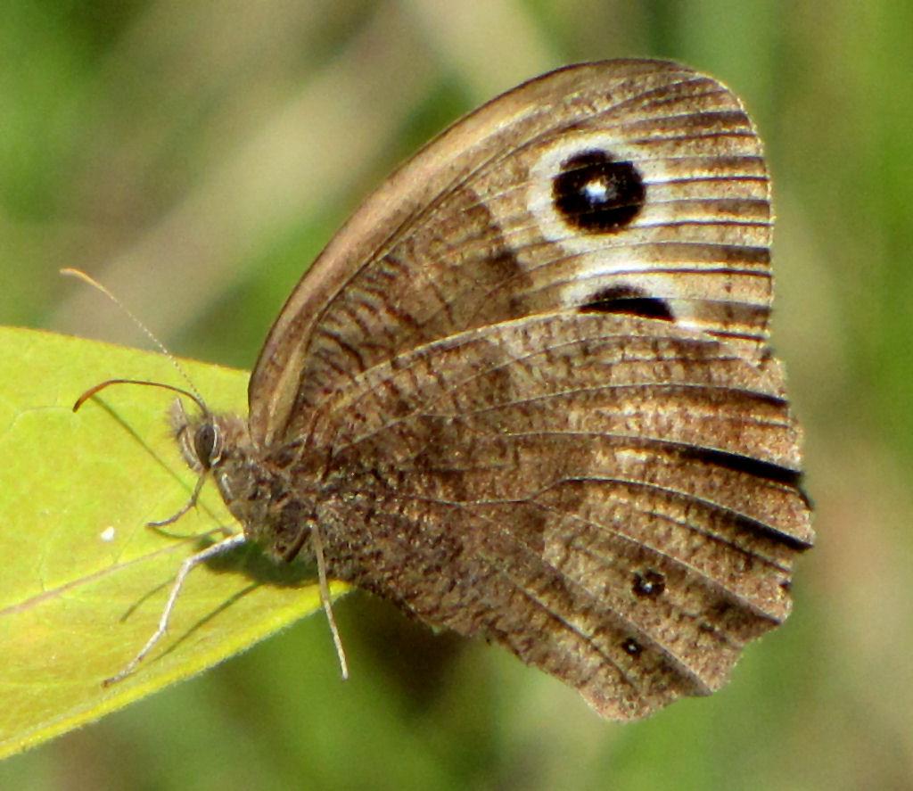 Common wood-nymph - Wikipedia