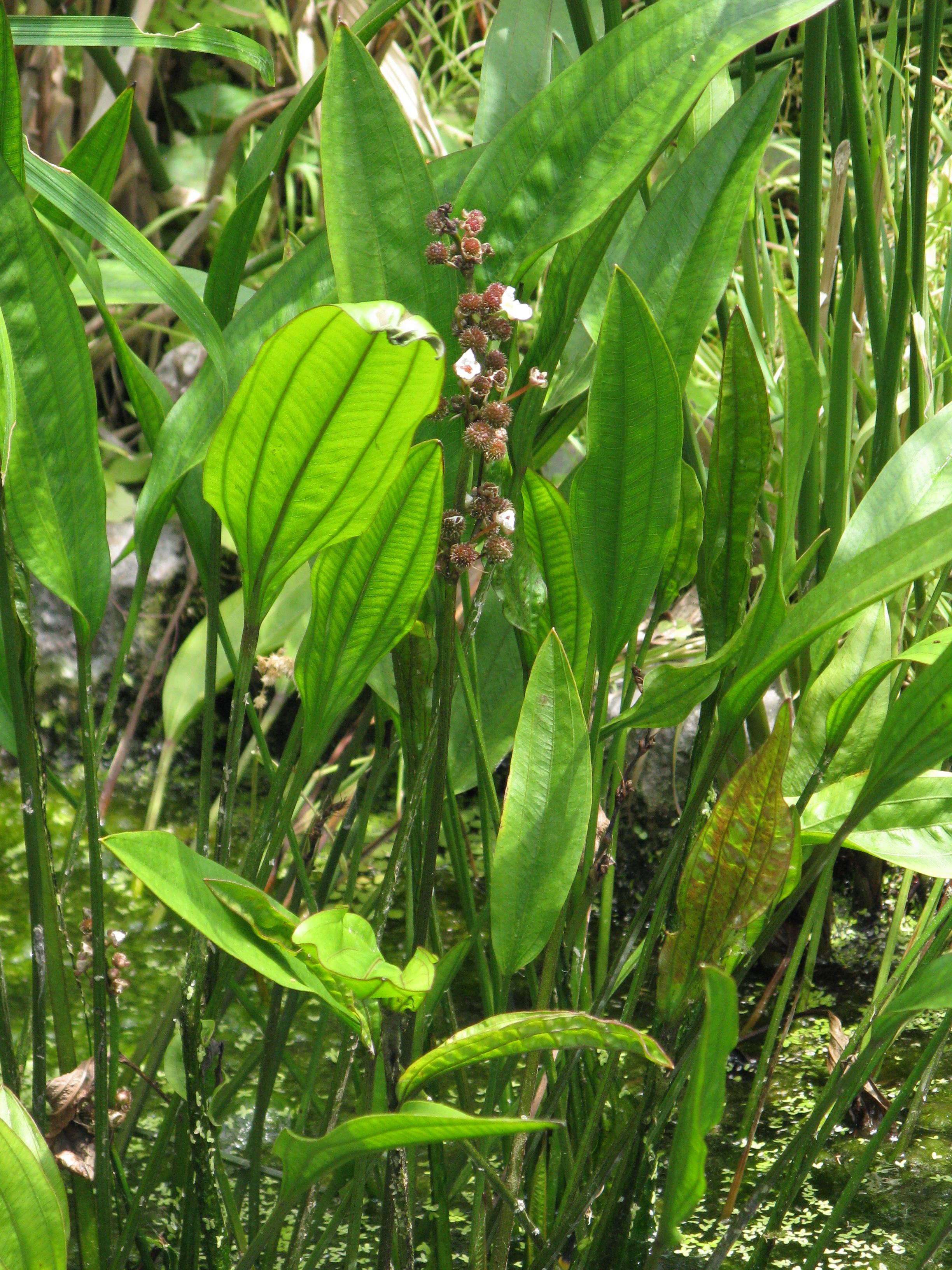 Echinodorus_paniculatus1 Frais De Aquarium Amazonien Concept