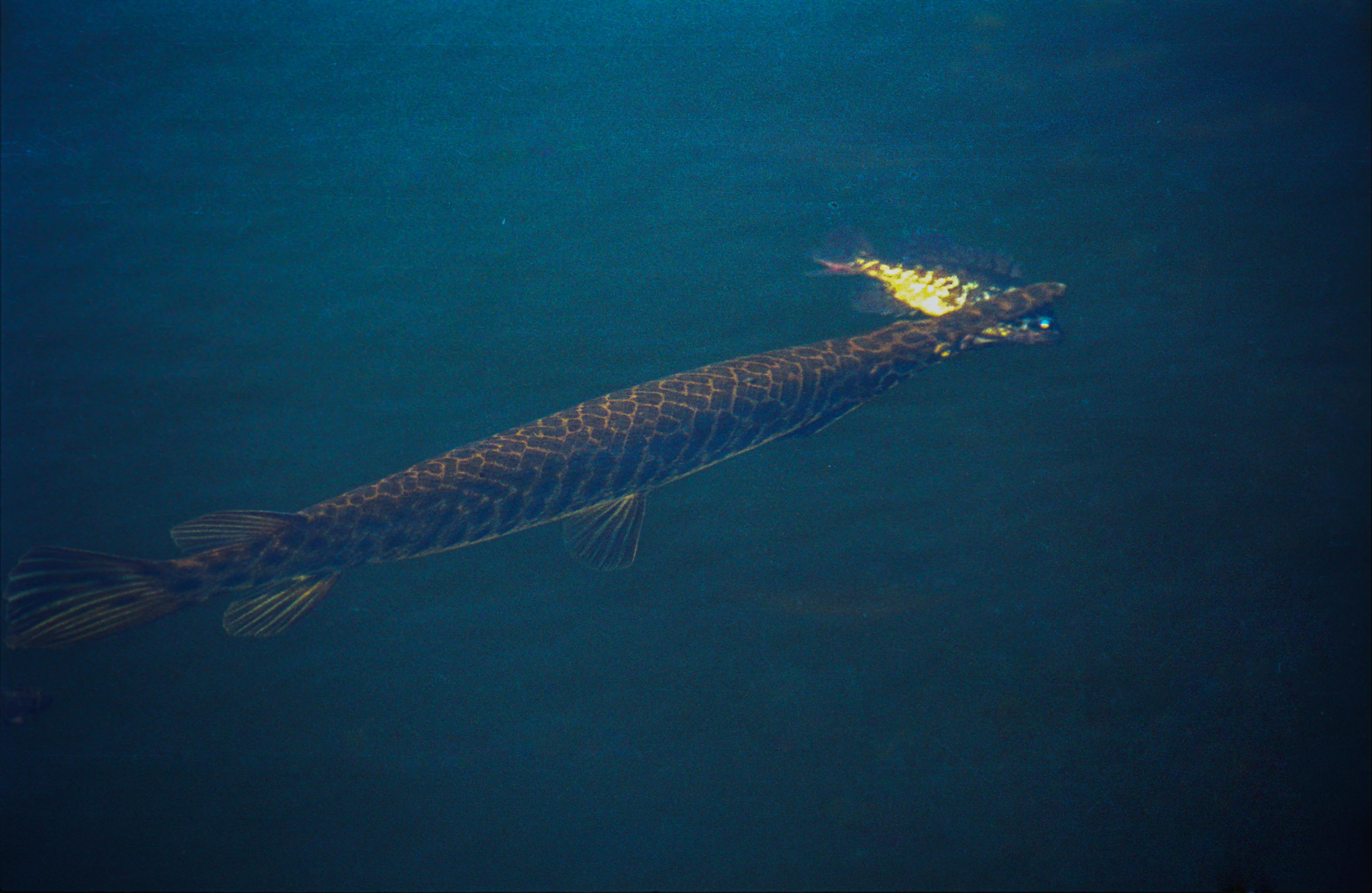File Everglades43 js Florida gar Wikimedia mons