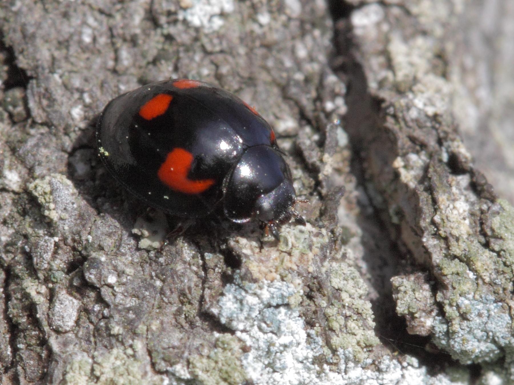 fileexochomus quadripustulatus coccinellidae