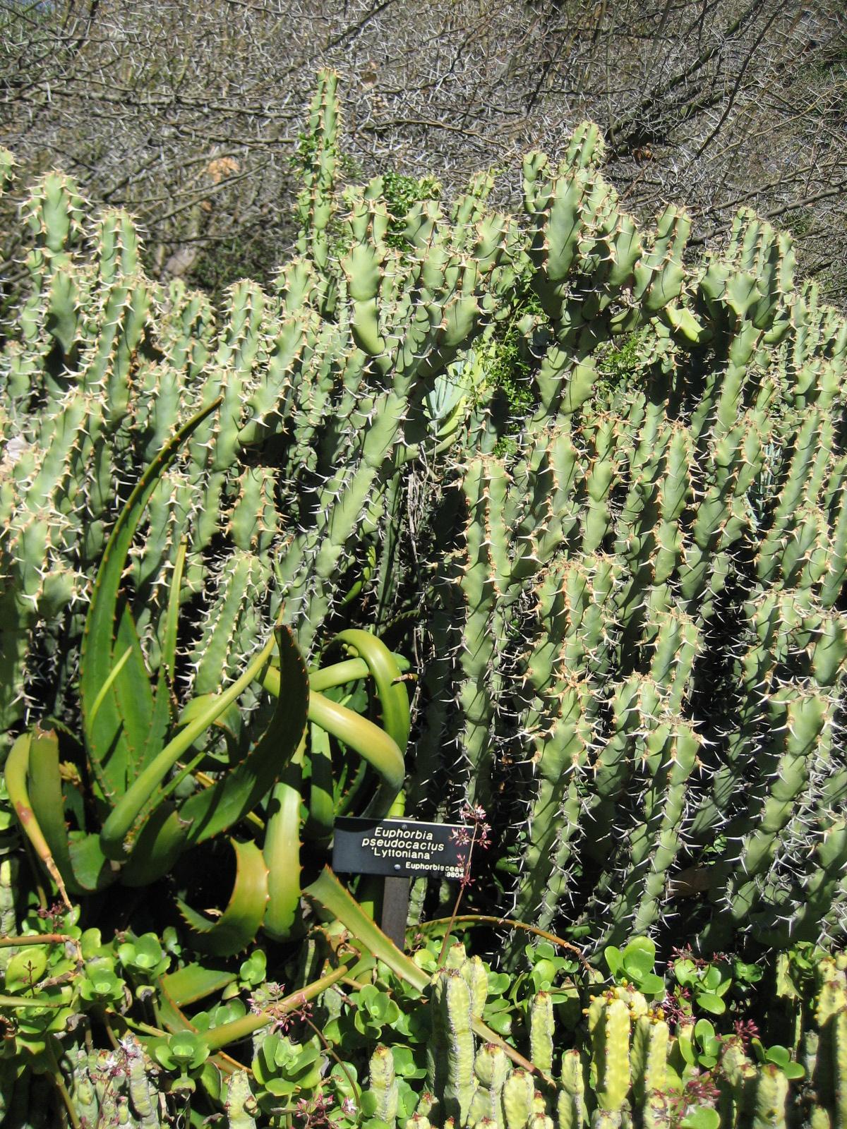 Euphorbia caerulescens la enciclopedia libre