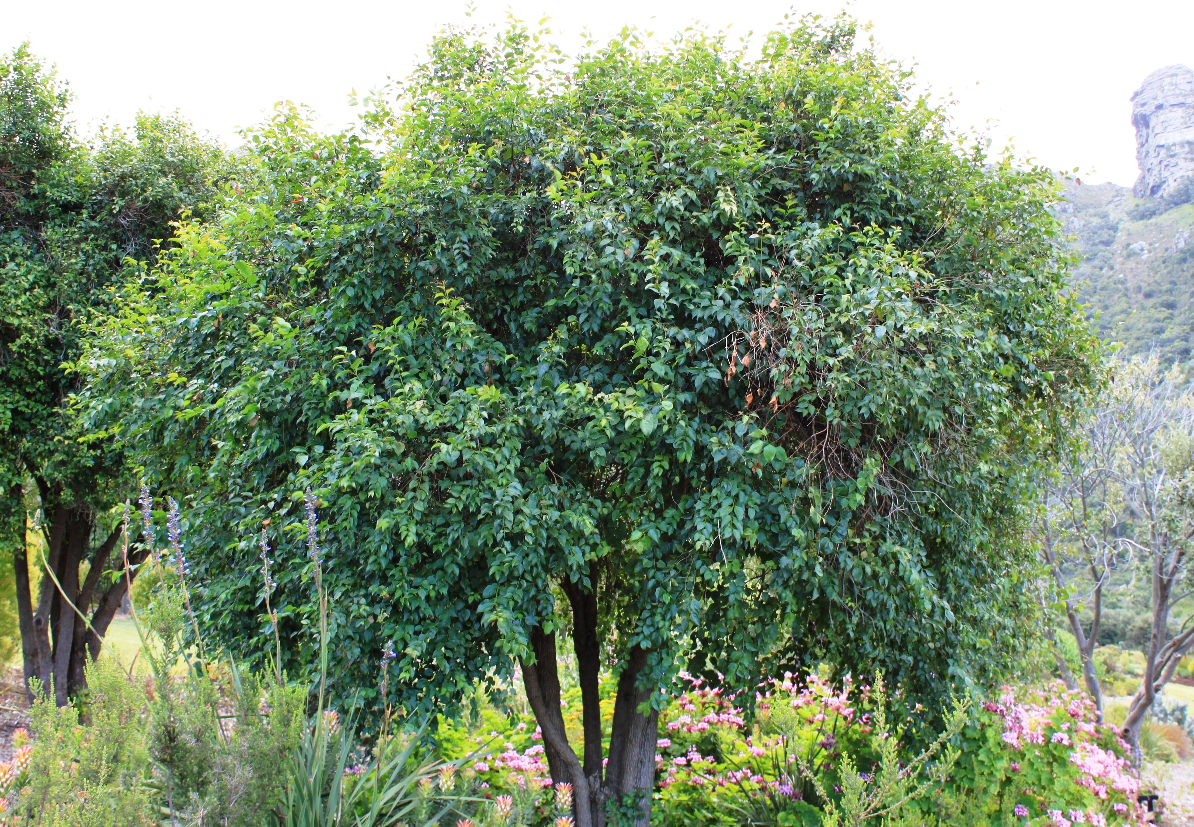 Small specimen tree garden design ideas for Specimen trees