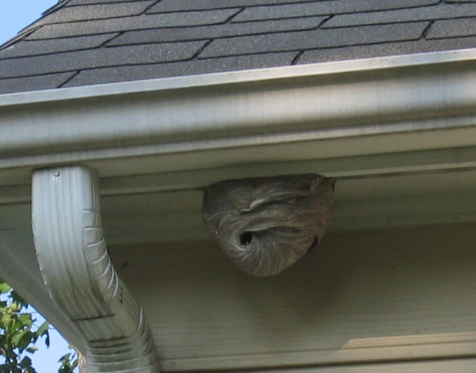 how to find wasp nest in house