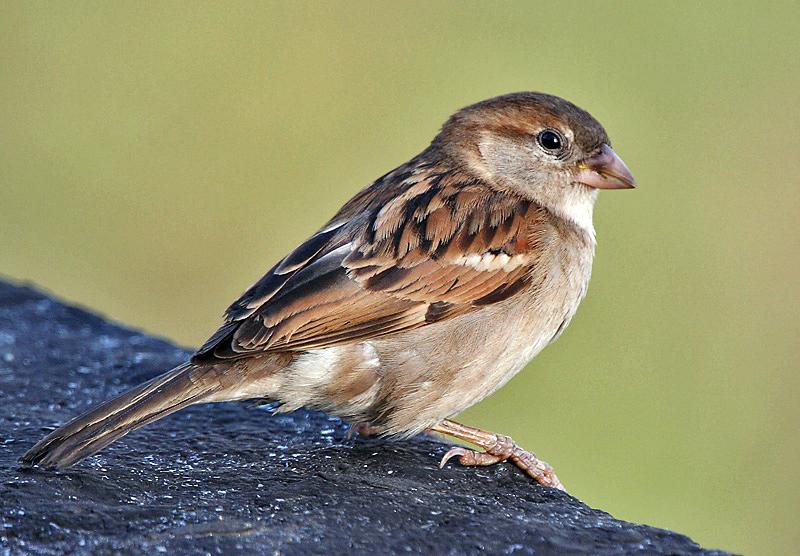 National Geographics: sparrow bird