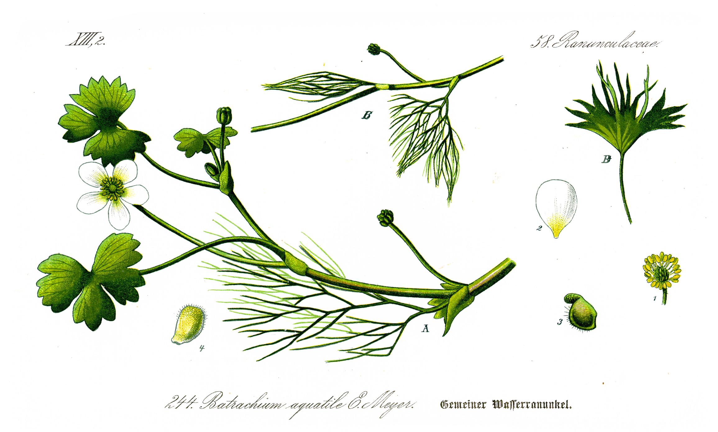 Illustration_Ranunculus_aquatilis1 Luxe De Gravier Aquarium Des Idées