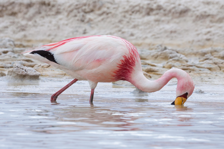 File James s Flamingo MC Wikimedia mons
