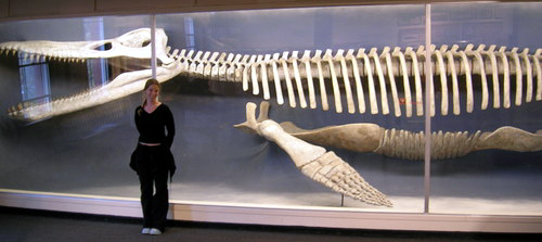 http://upload.wikimedia.org/wikipedia/commons/0/0d/Kronosaurus_skeleton.jpg