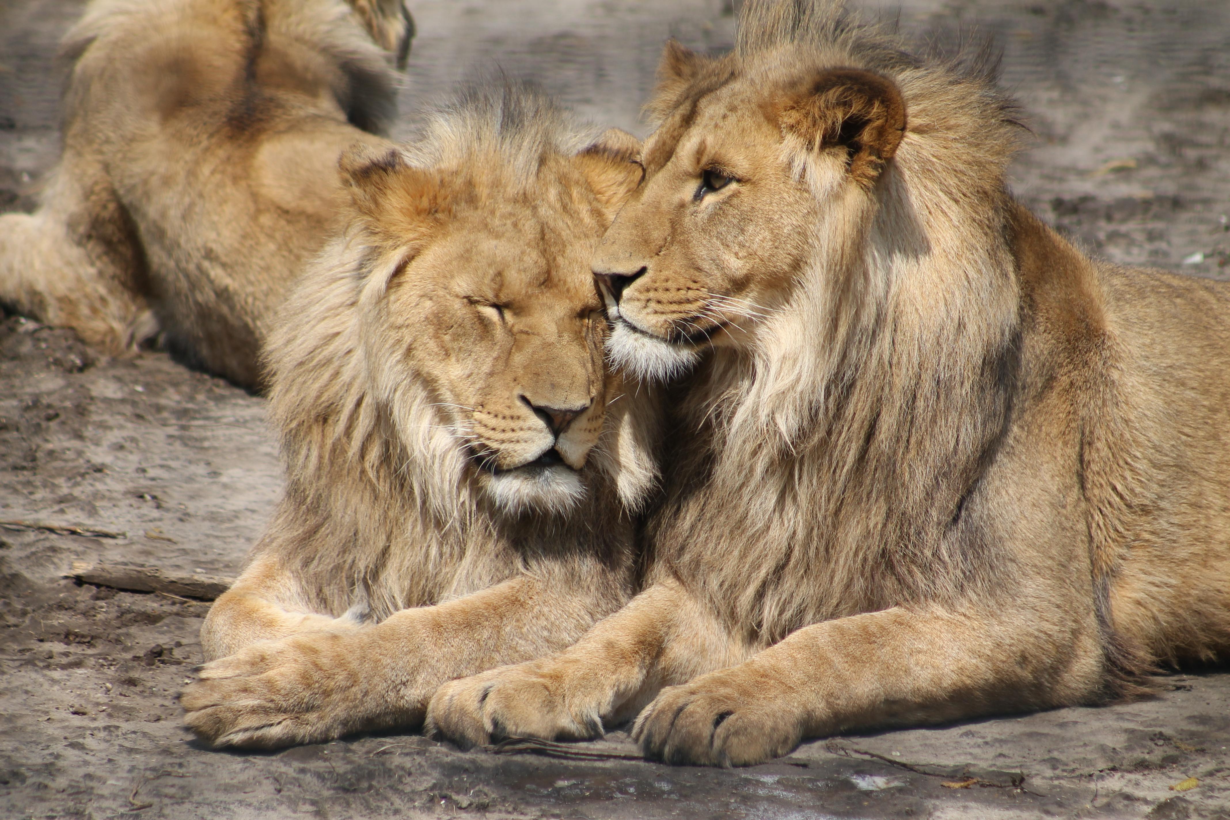 Image result for LION FRIENDSHIP