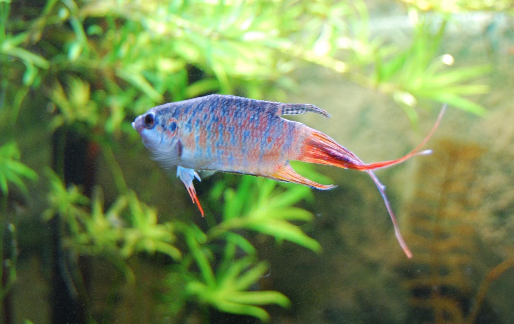 paradise gourami fish