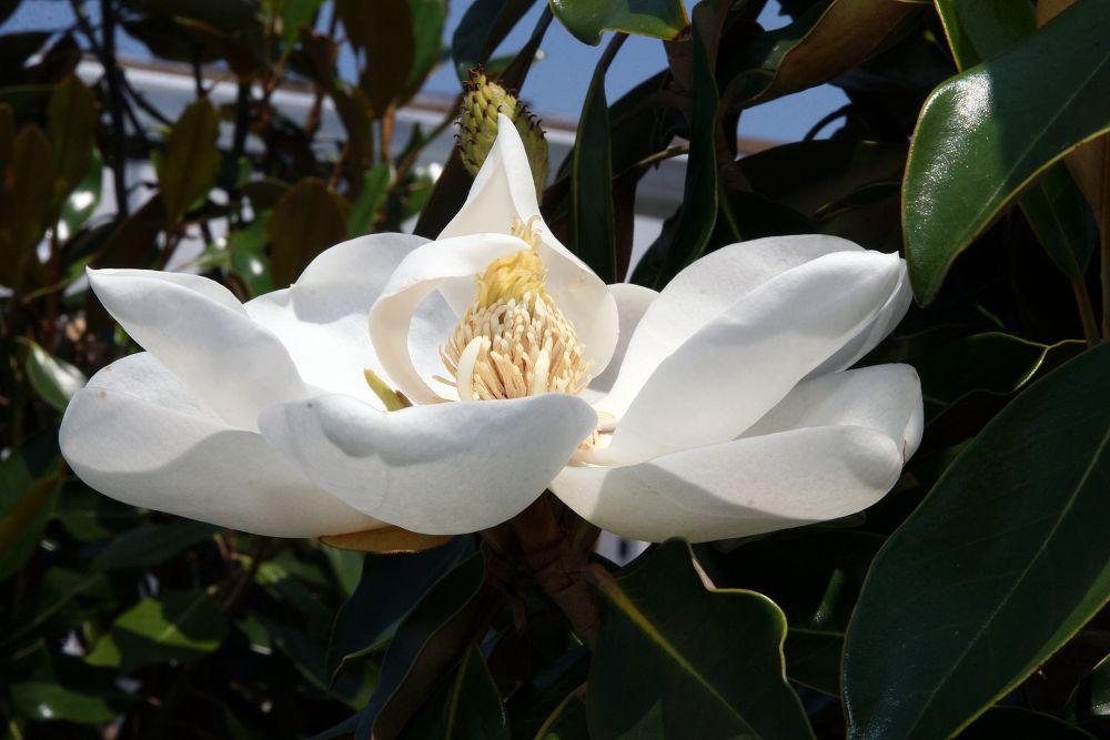Magnolio en flor.