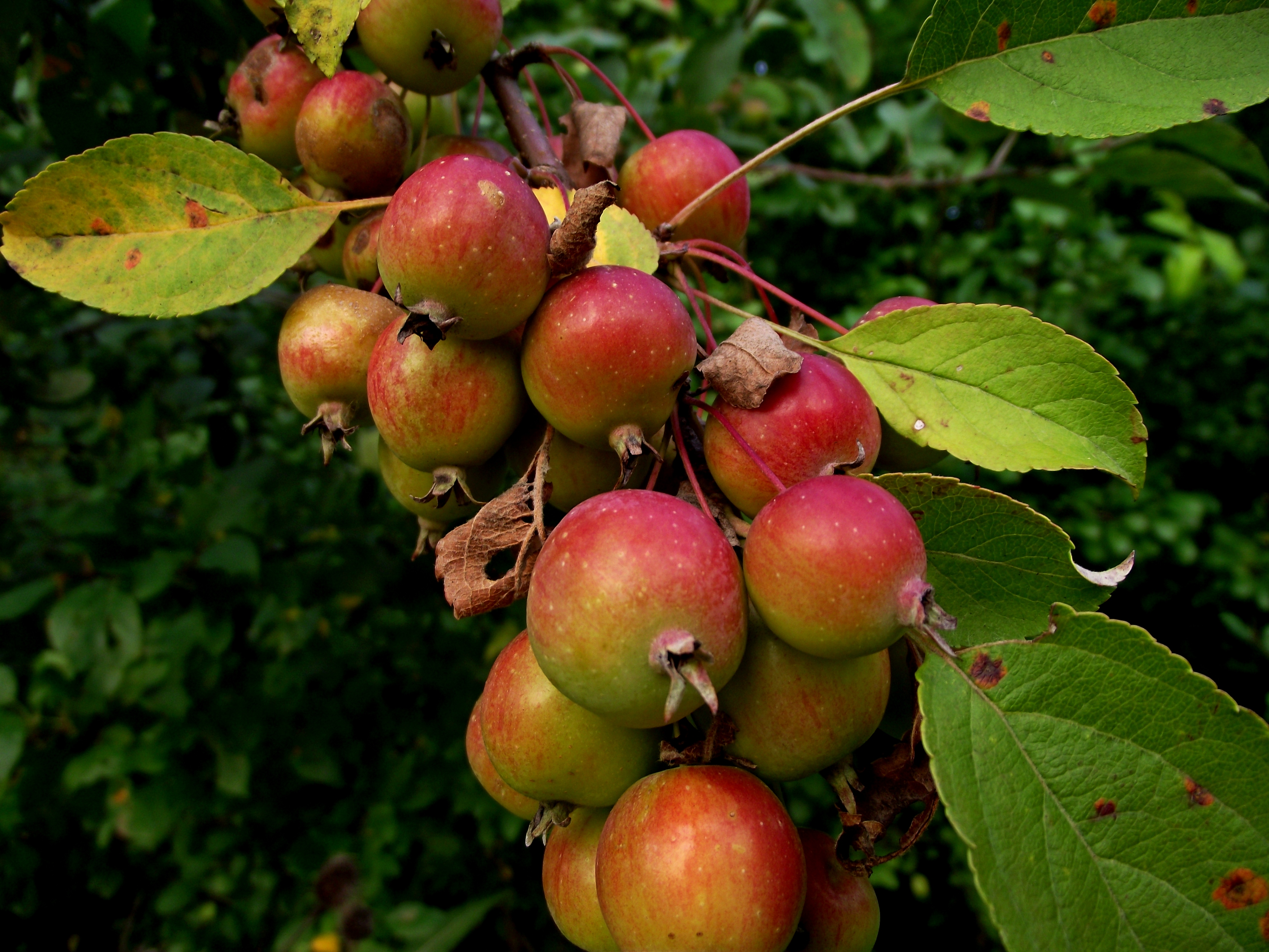Dwarf McIntosh Apple Tree for Sale  Fast Growing Trees