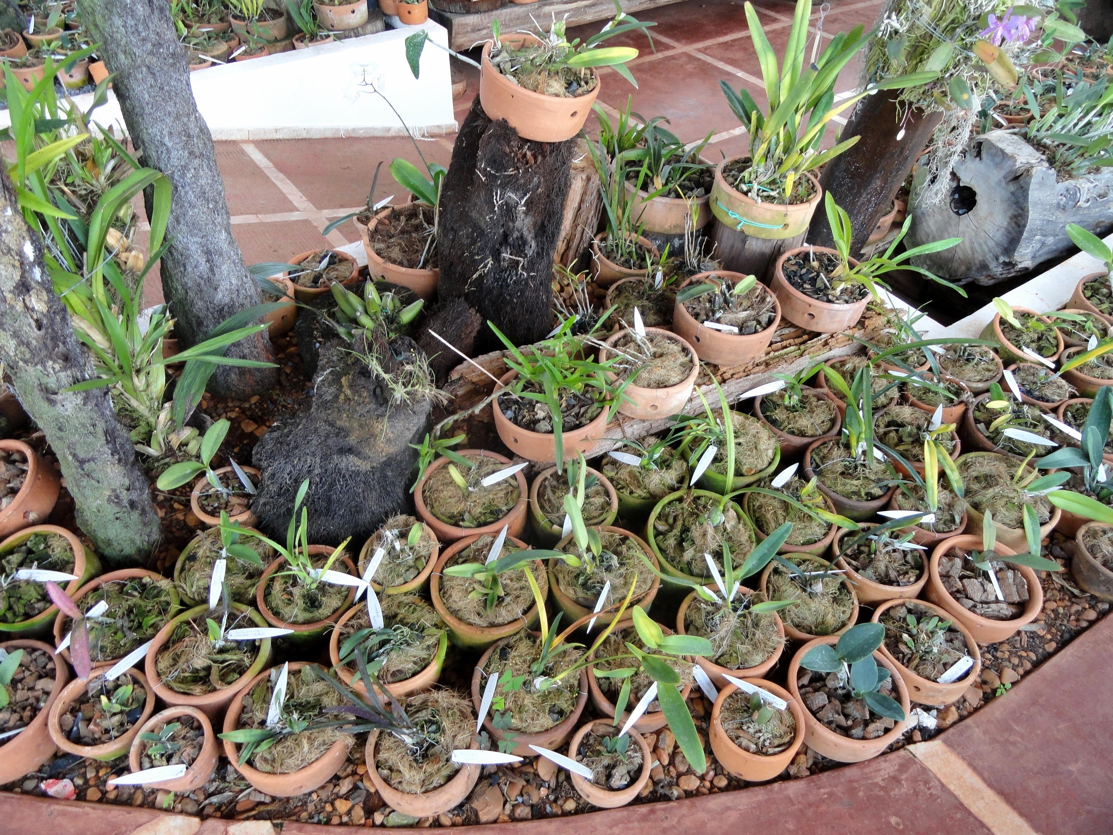 File Orchids Orchid Nursery Margaret Mee Dsc09754 Jpg