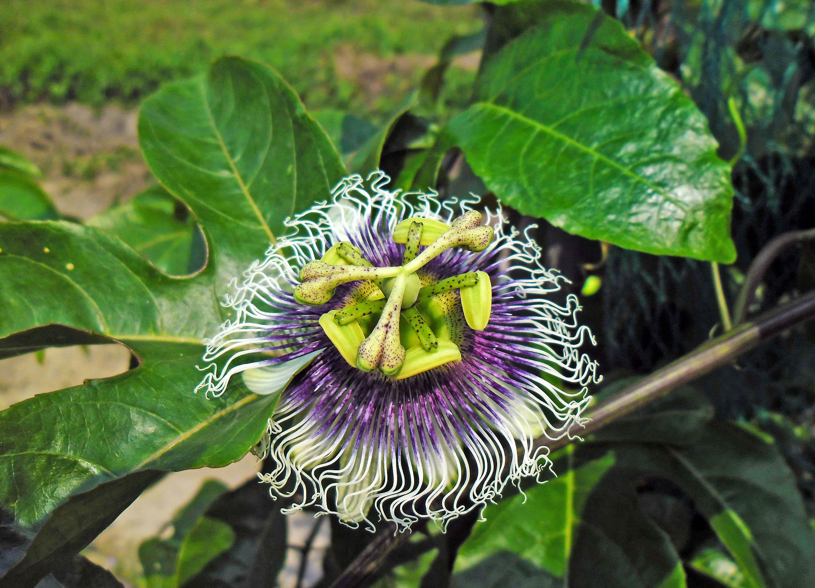 Passiflora Edulis Habitat Passiflora Edulis or The