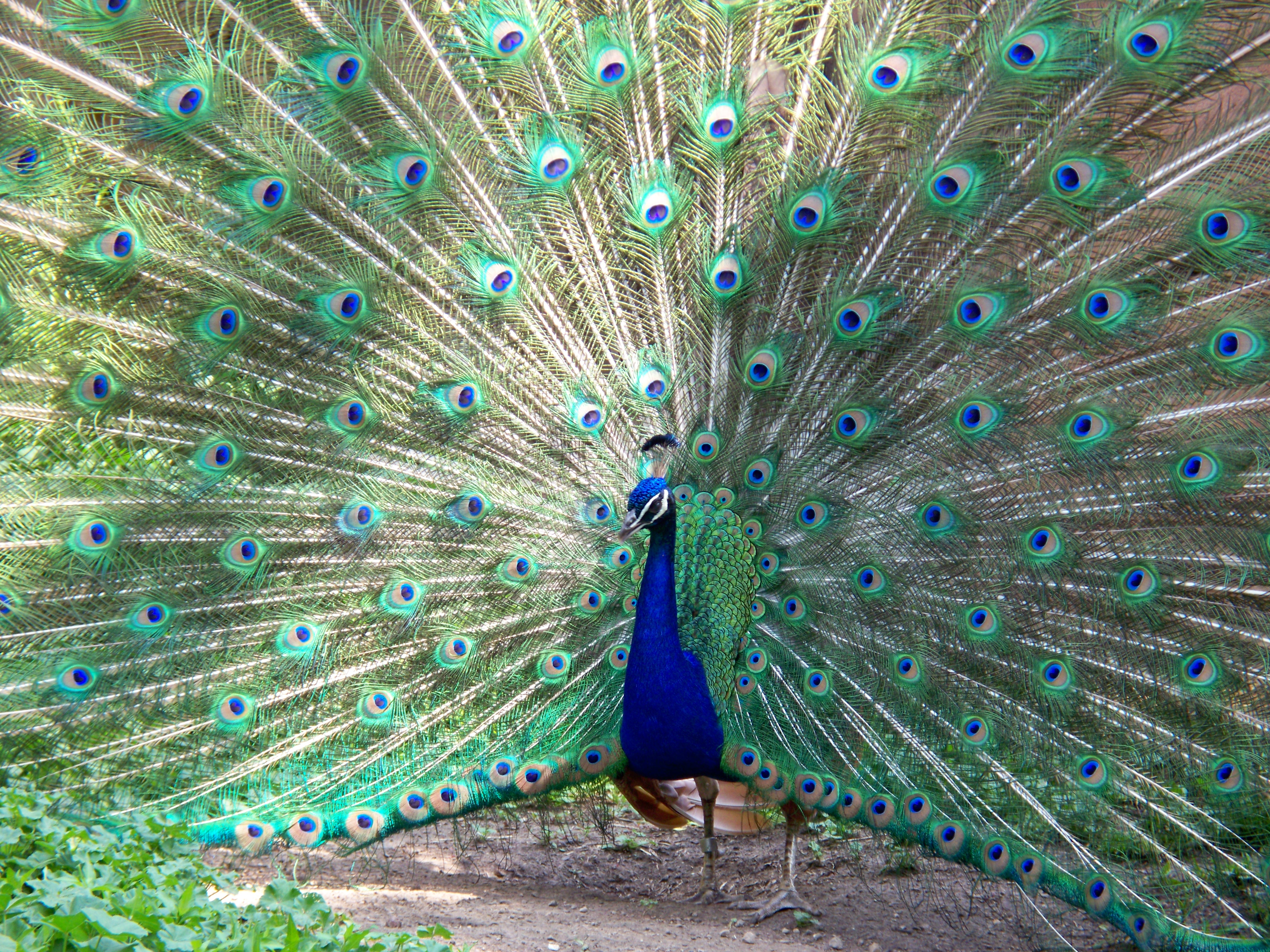 peacock information in english Peacock is a beautiful bird that is found residing only in some of the asian countries with this article, get some amazing information and interesting facts on peacocks.