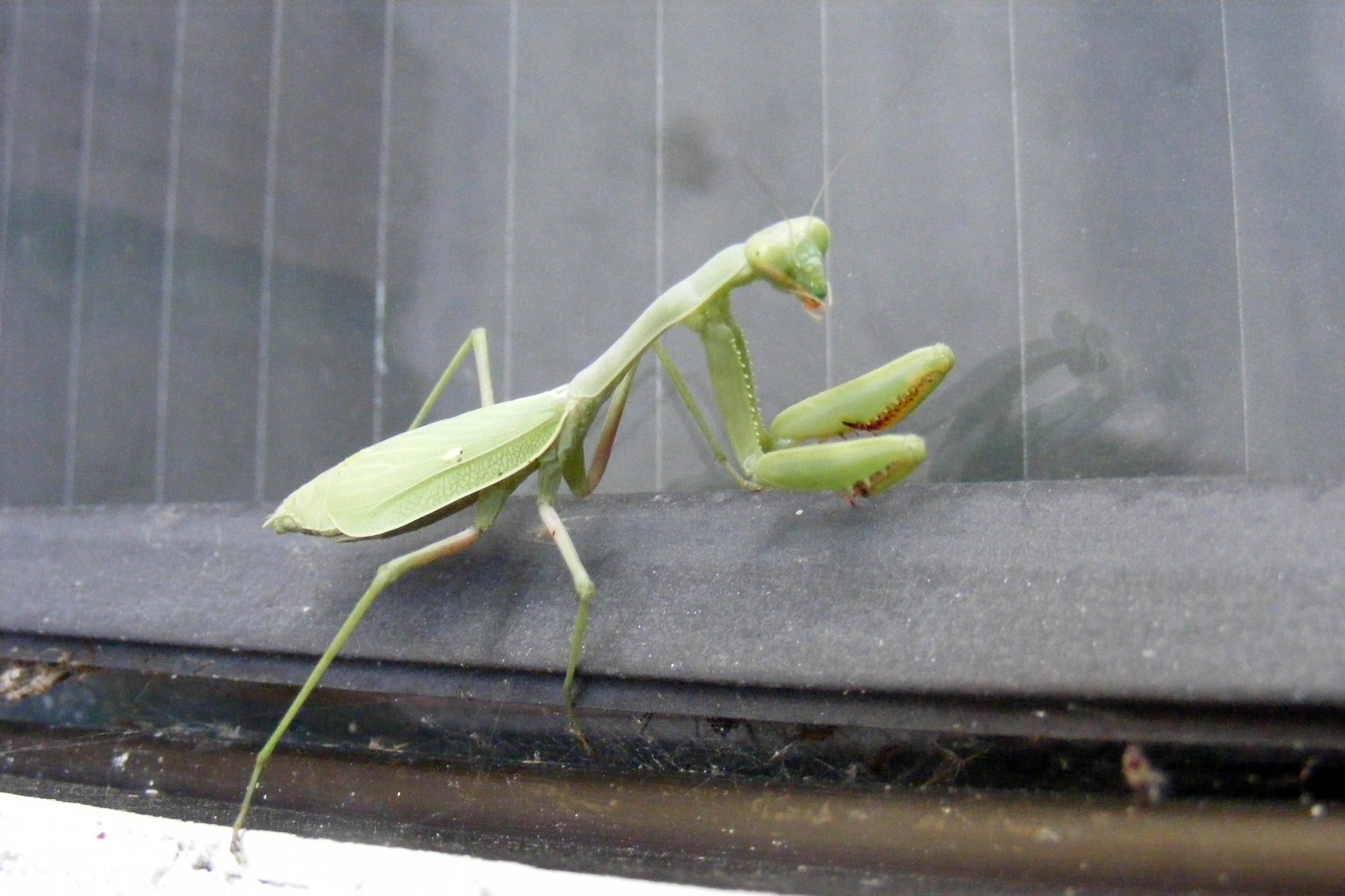 File:Praying Mantis - jsmith.JPG - Wikimedia Commons