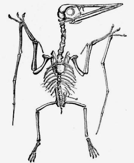Dateipterodactylus Lydekkerjpg Wikipedia