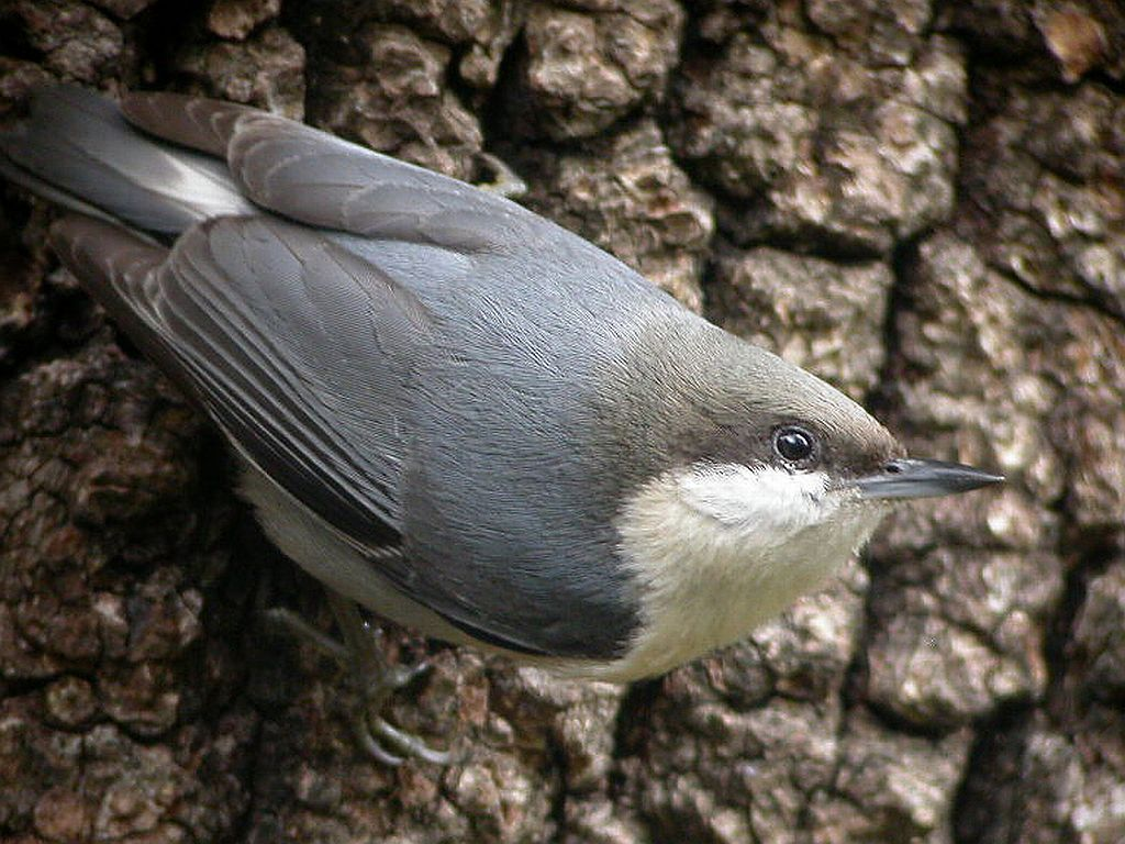 https://upload.wikimedia.org/wikipedia/commons/0/0d/Pygmy_Nuthatch_%28Sitta_pygmaea%292_-California.jpg?download
