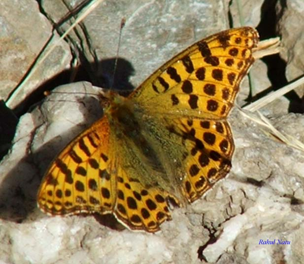 File:RN034 Issoria lathonia.jpg