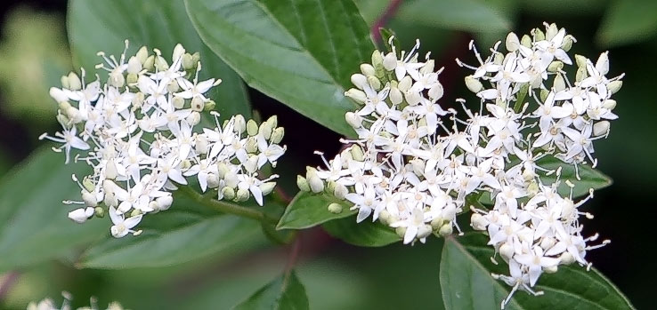 Distinguishing Elderberry From Silky And Redosier Dogwood