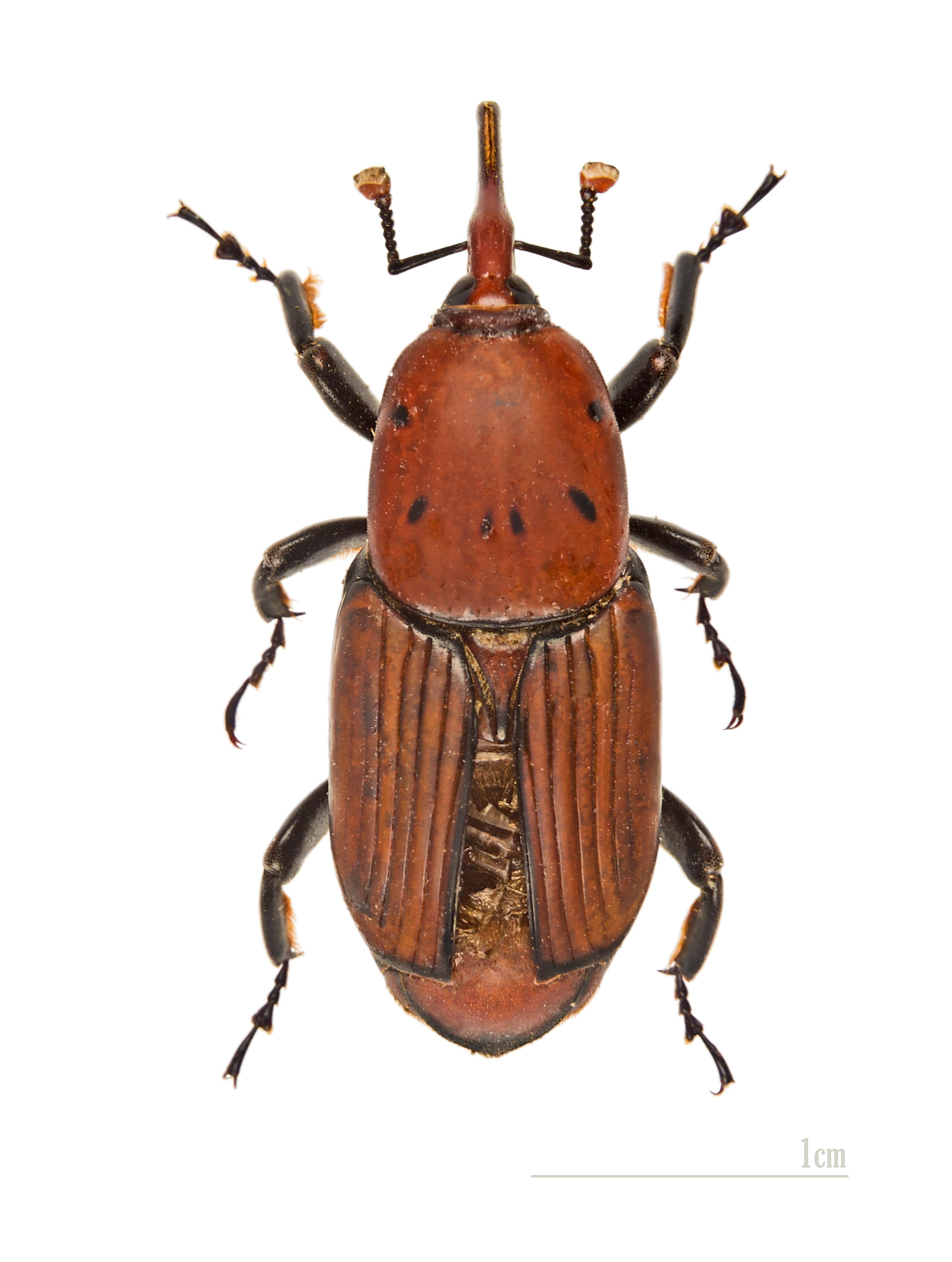 Rhynchophorus Ferrugineus Wikipedia La Enciclopedia Libre