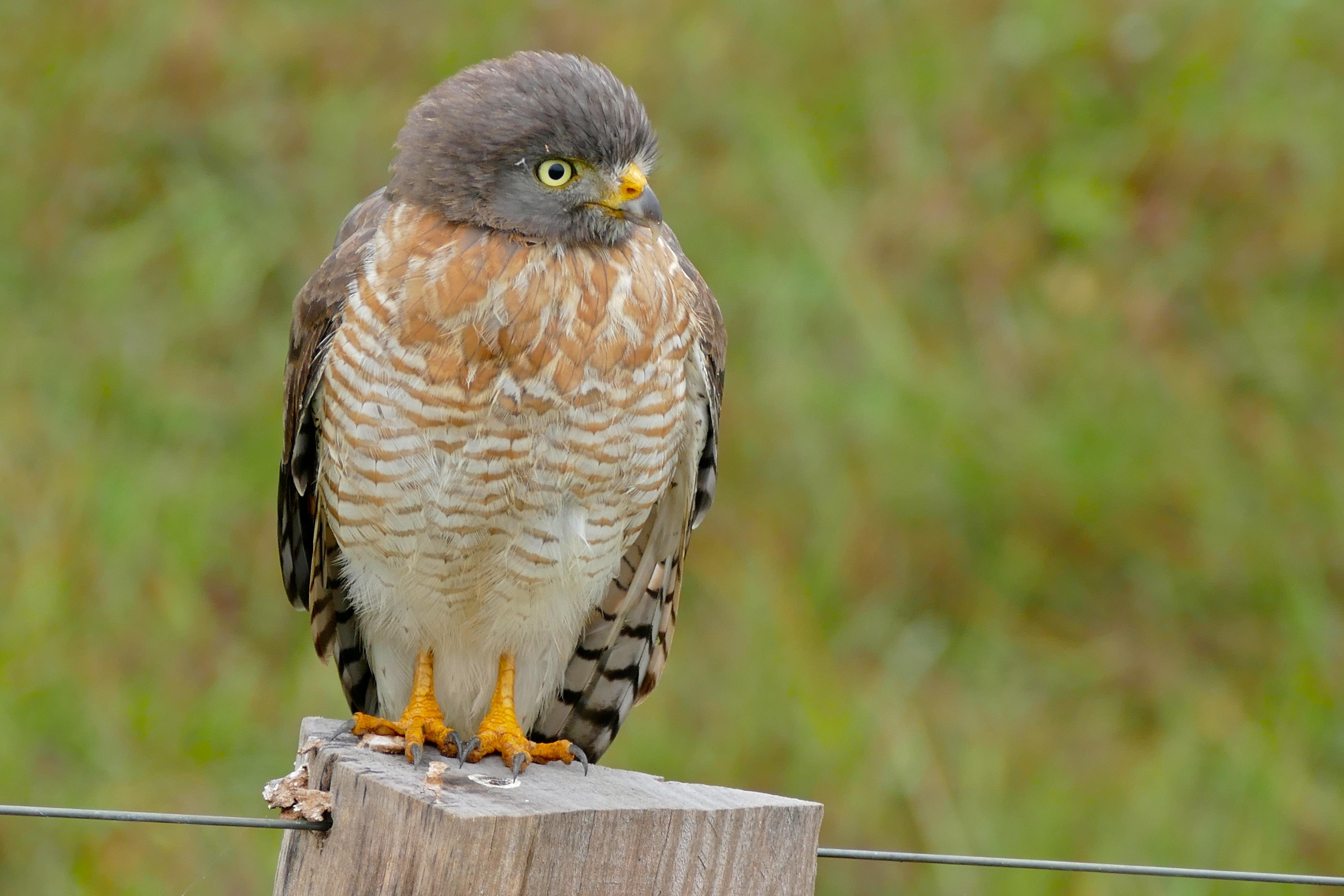 Roadside Hawk Buteo magnirostris %