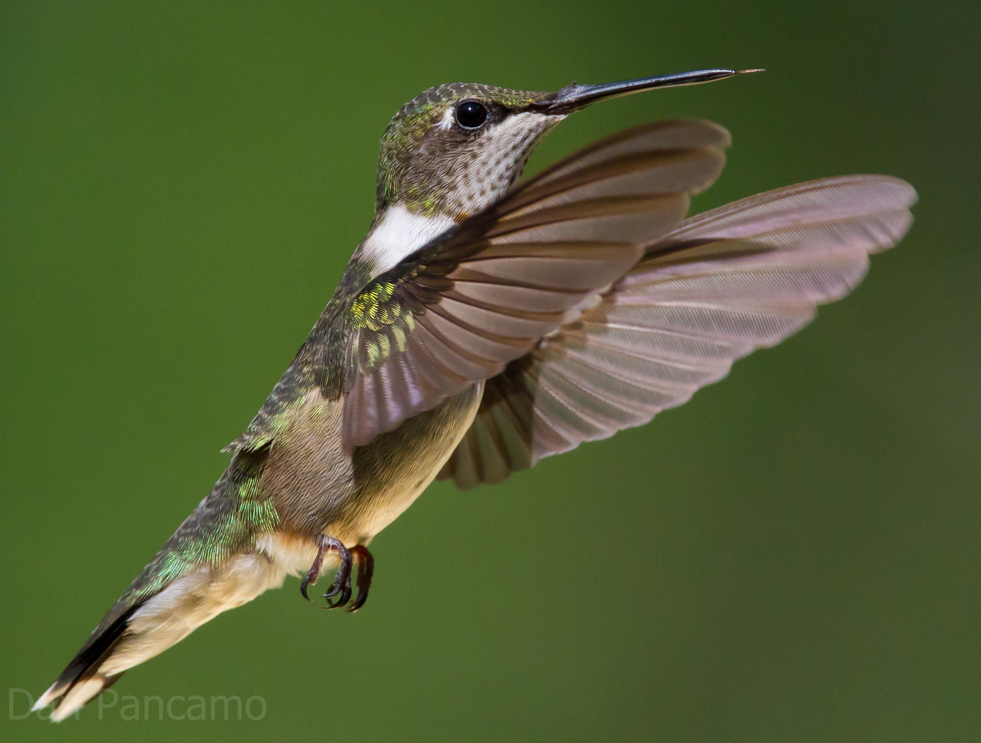 File Ruby Throated Hummingbird By Dan Pancamo 2 Jpg