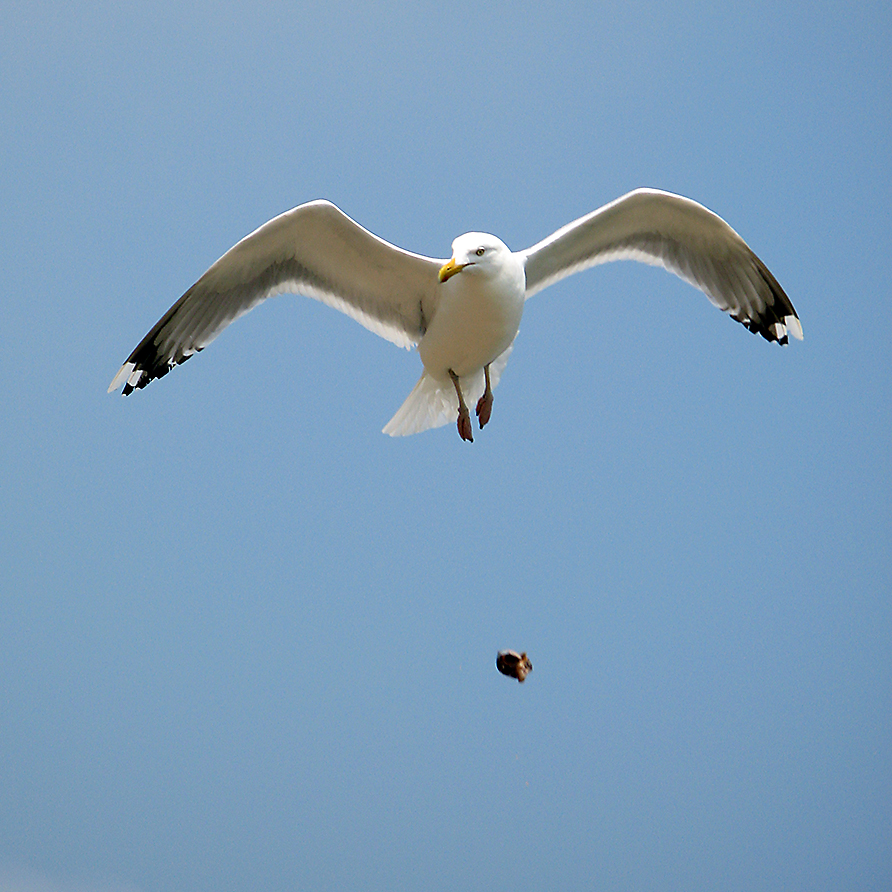 Seagull_dropping_clam.jpg