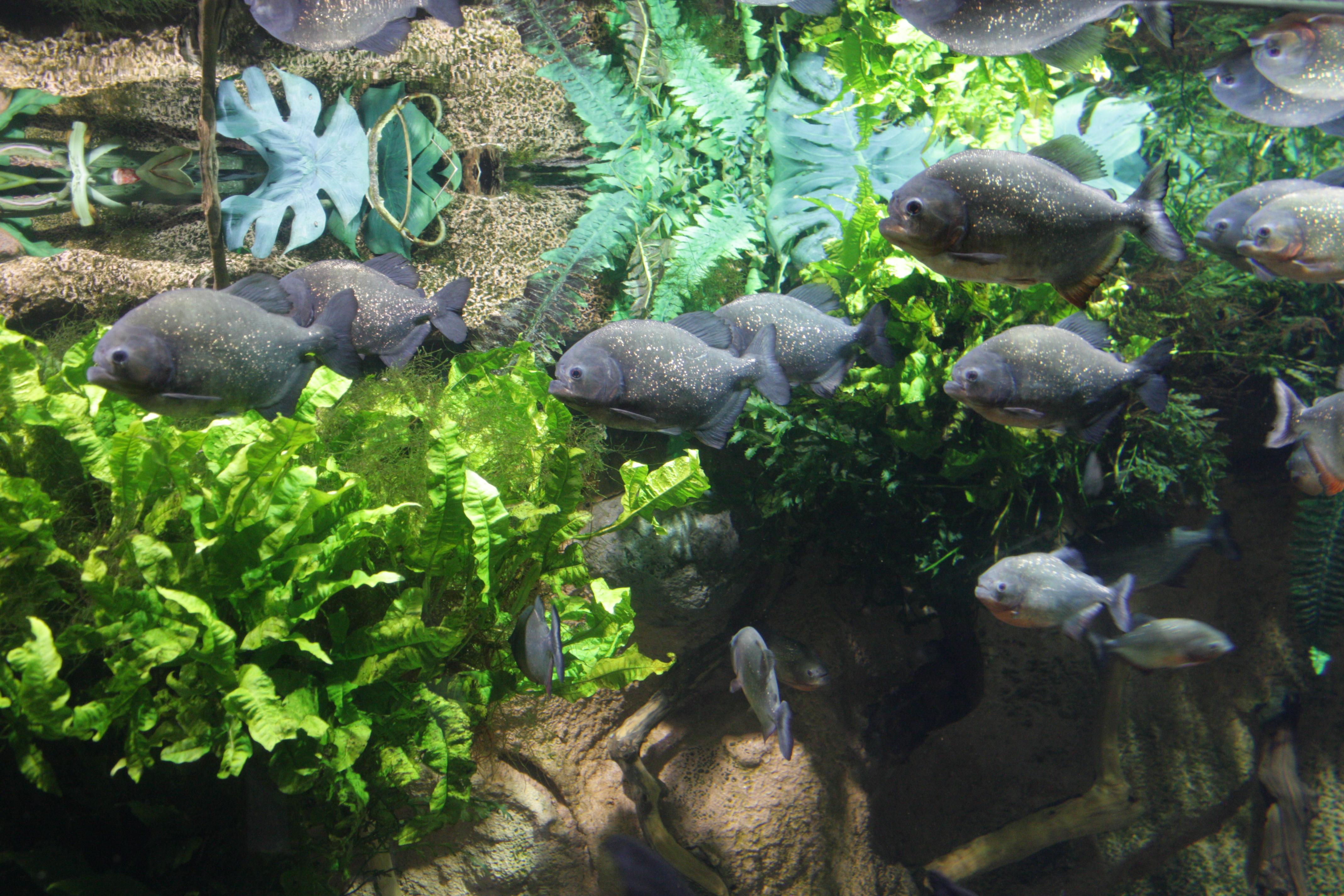 Serraselmus_in_SPB_oceanarium Frais De Aquarium original Des Idées