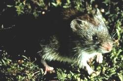 Southern red-backed vole species of mammal